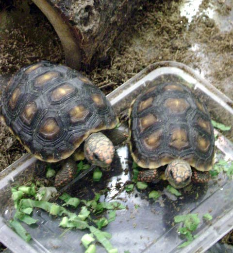 Baby-Red-Footed-Tort.jpg
