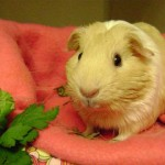 goldietheguineapig-150x150.jpg